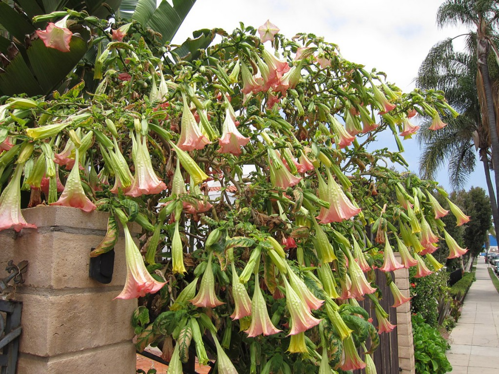 Trumpet Flower - Brugmansia