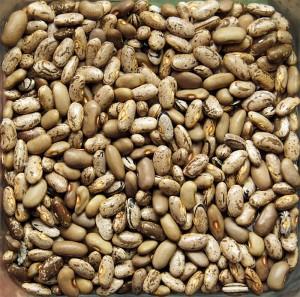dried_beans_from_garden_800